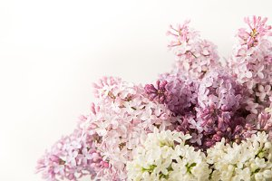 Purple and pink lilac flowers on white background