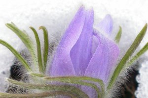Prairie Crocus Five