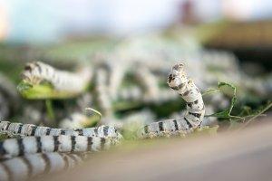 silk worm , worm larvae