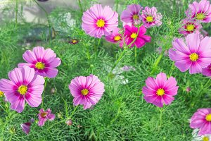 floral pink cosmos flowers