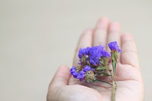 Dried statice flowers on hand
