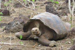 Ancient - Galapagos Tortoise