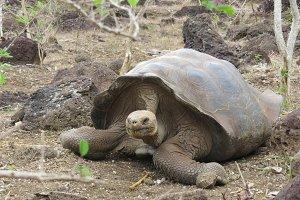 Ancient - Galapagos Tortoise