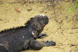 Grit - Galapagos Iguana