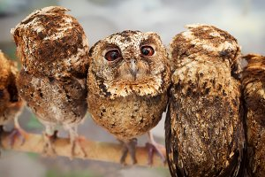 Funny baby owls