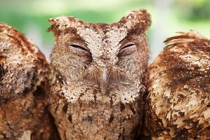 Funny portrait of sleepy baby owl