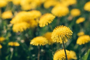 Close-up of bloom dandelions. Toned image. Summer concept.