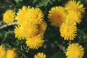 Top view of bloom dandelions.