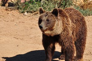 Brown Bear Animal