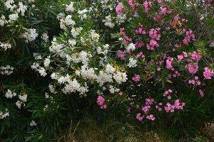 Nerium Oleander Shrub