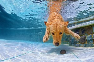 Golder retriever dive underwater