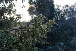 Juniper frozen branch close up