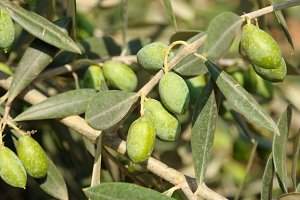Olives tree close-up