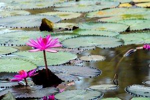 pink lotus flower in morning