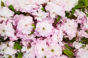 Sakura blossom