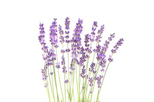 Lavender on a white wall.