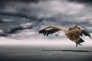 Dramatic vulture 2