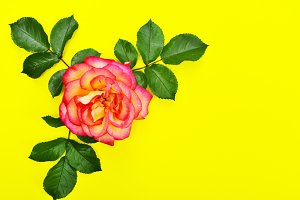 Pink rose with green petals