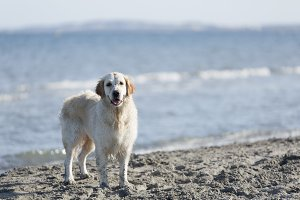 Dog on a beach looking at the camera