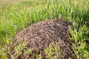 Anthill on the green grass close up