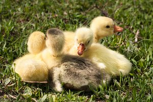 four little domestic gosling in green grass