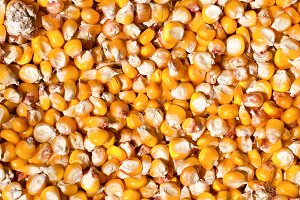 Dried corn as a background. Top view