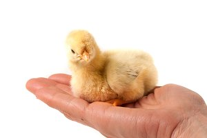 Hand holding a chicken, isolated on a white background