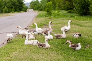 Flock of geese on the grass near the road
