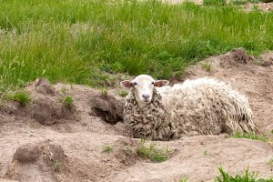 Sheep with dirty wool lies on the ground