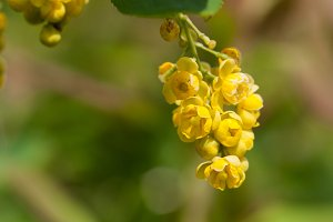 A close up of the blooming barberry Berberis amurensis. Selective focus, shallow DOF