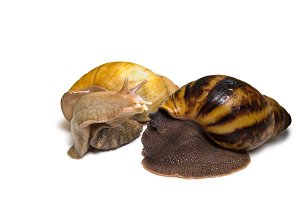 Giant african snail achatina fulica