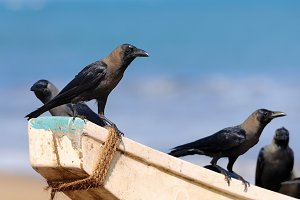 Crows sitting on a fishing boat