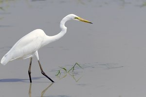 Beautiful Great white egret