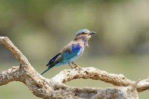 Blue Indian Roller