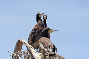 Three African darter