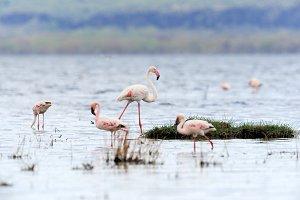 Beautiful flamingos on lake