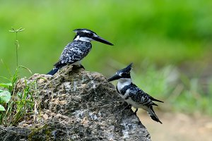 Pied Kingfisher on stone