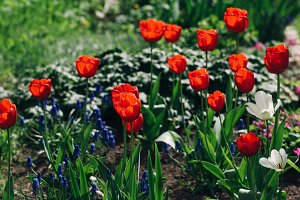 Flowerbed with red tulips and various flowers