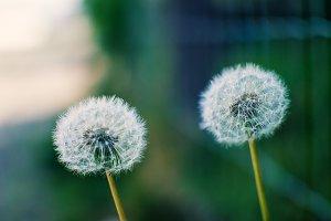 smooth dandelions