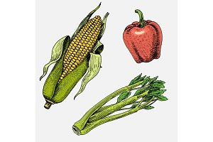 set of hand drawn, engraved vegetables, vegetarian food, plants, vintage looking corn, sweet and chili peppers, celery