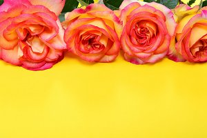 Pink-yellow roses