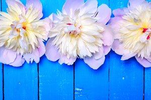 Flowering peonies