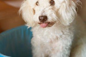 Funny poodle dog