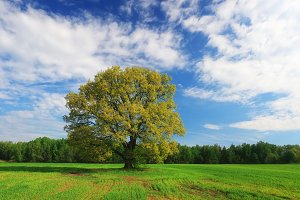 Green oak tree on blue sky