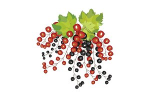 Hand drawn berries black red currant close up.
