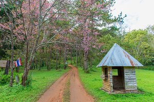 hut and pink cherry or Thai sakura