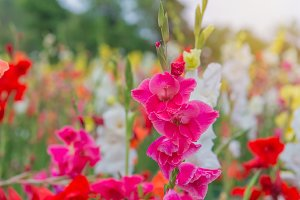 Bunch of colorful Gladiolus flowers