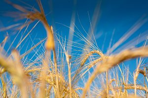 Wheaten field and the blue sky