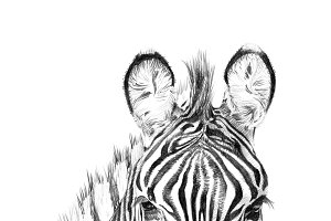 Portrait of zebra drawn by hand