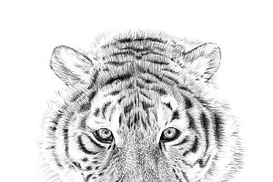 Portrait of tiger drawn by hand